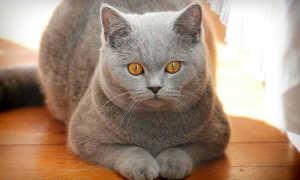 Характер и поведение британских кошек