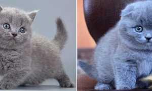 Отличие кошек британской и шотландской породы