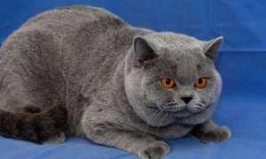 Британская порода кошек — описание и уход