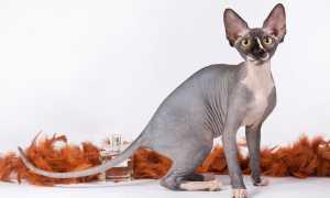 10 самых умных кошачьих пород