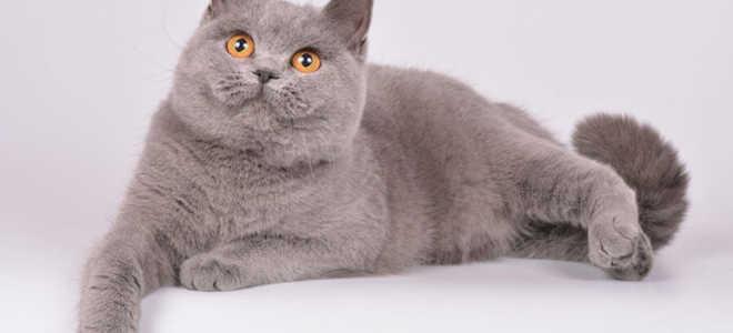Британские кошки с лиловым окрасом