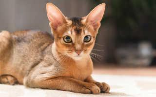 Абиссинская порода кошек — описание и уход