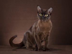 Бурманская короткошёрстная кошка