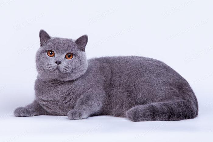 Короткошерстная кошка