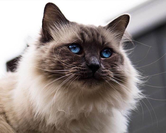 Балинез кошка