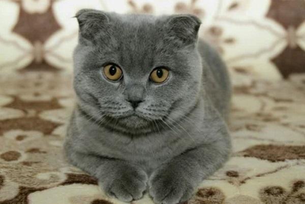 Британский серый вислоухий кот