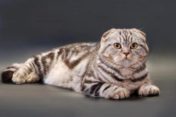 Британский мраморный вислоухий кот