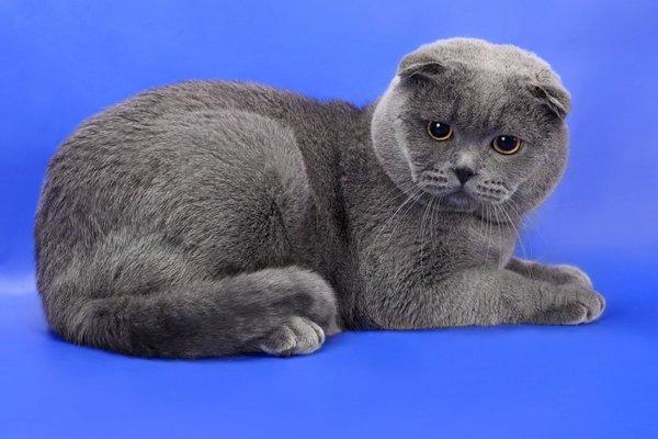 Британский вислоухий кот-2