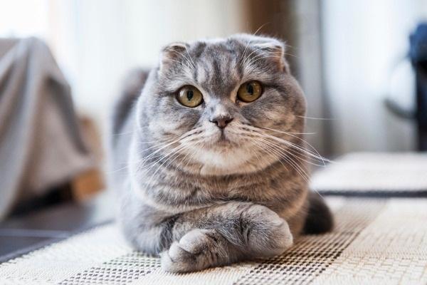 Британский серый вислоухий кот-6