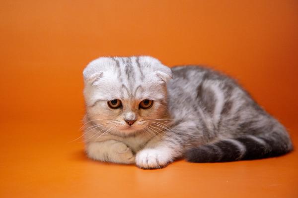 Британский вислоухий кот-5