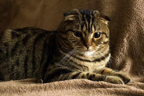 Британский полосатый вислоухий кот