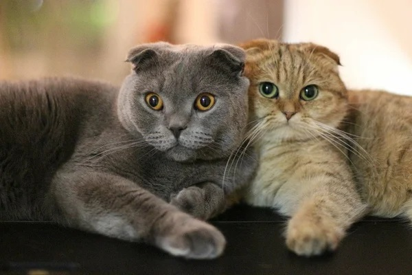 Британские вислоухие котята-4