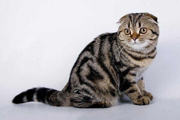 Вислоухий британский кот-8