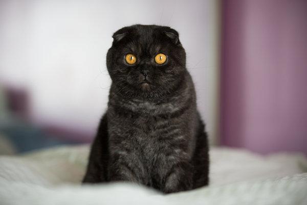 Британский вислоухий черный кот