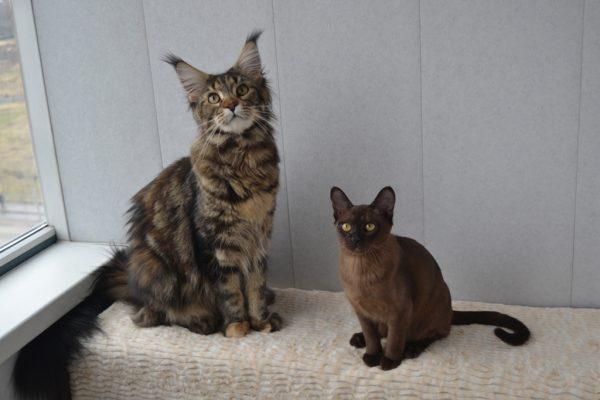 Бурманская кошка и другие животные