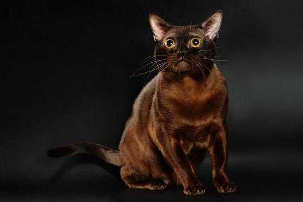 Бурманская кошка американская