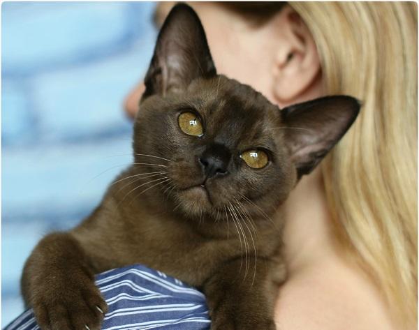 Бурманская кошка и человек
