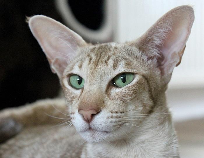 Кошка ориентальная