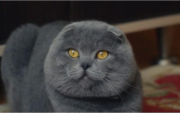 Британский кот голубого цвета