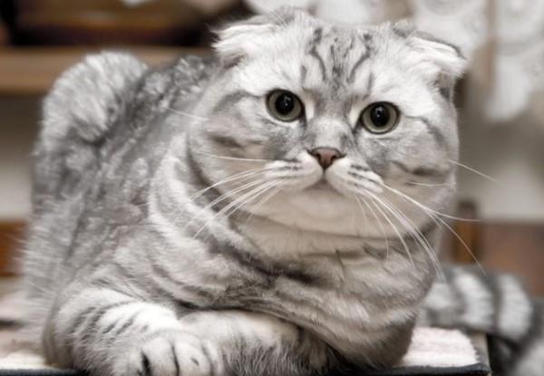 Красивые кот вислоухий