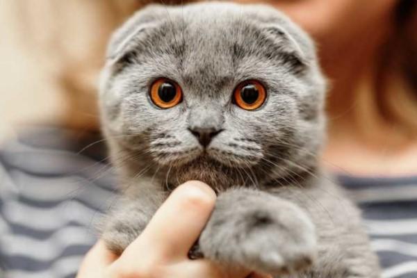 Уши у британского котенка