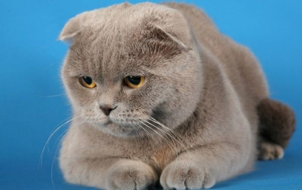 Кот вислоухий британский